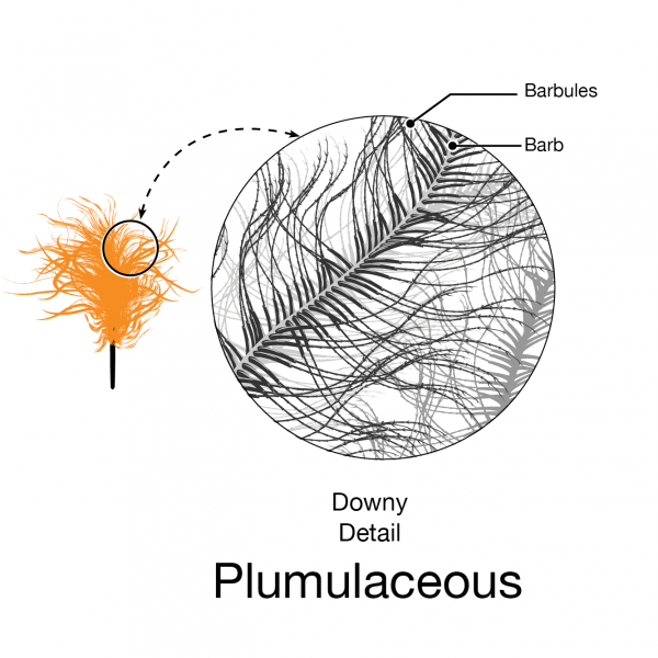 Plumulaceous structure of a downy feather illustration by Andrew Leach