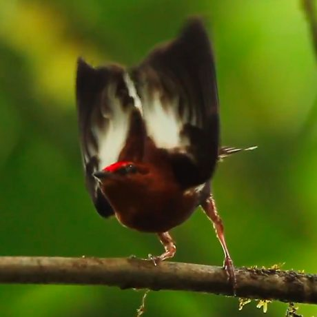 photo of a Club Winged Manakin