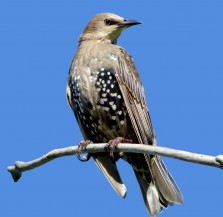 European Starling in postjuvenal molt: Kevin J. McGowan