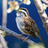 WhitethroatedSparrow_Birdshare7074546113_MichaelaSagatova-square