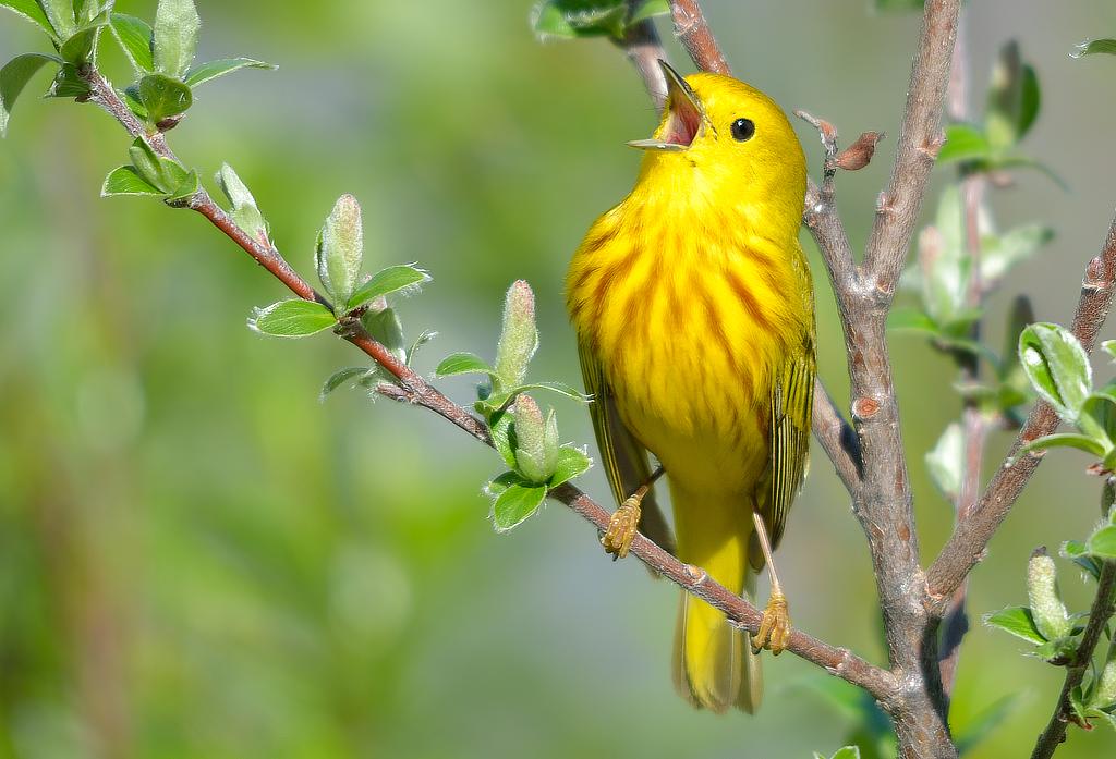 YellowWarbler_BirdShare8040381377_KeithWilliams