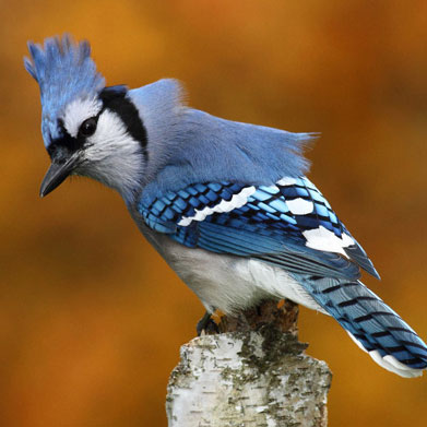 blue jay - display