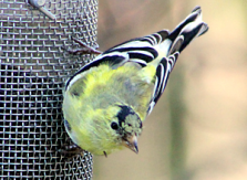 American Goldfinch male in transition, March: Kevin J. McGowan