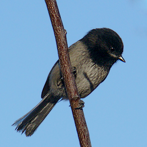 Black-capped Chickadee by Terry Gray