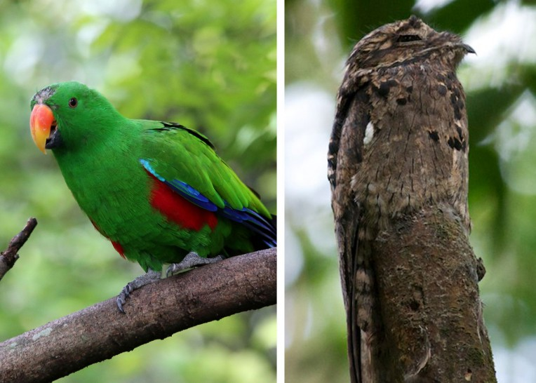 eclectus parrot and potoo - camouflage feathers