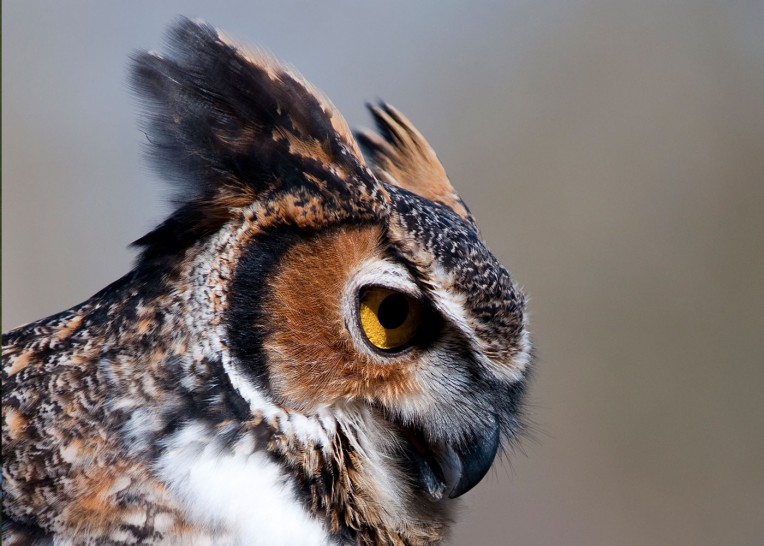 photo of a great horned owl's horn feathers