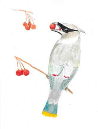 Cedar Waxwing and Berry