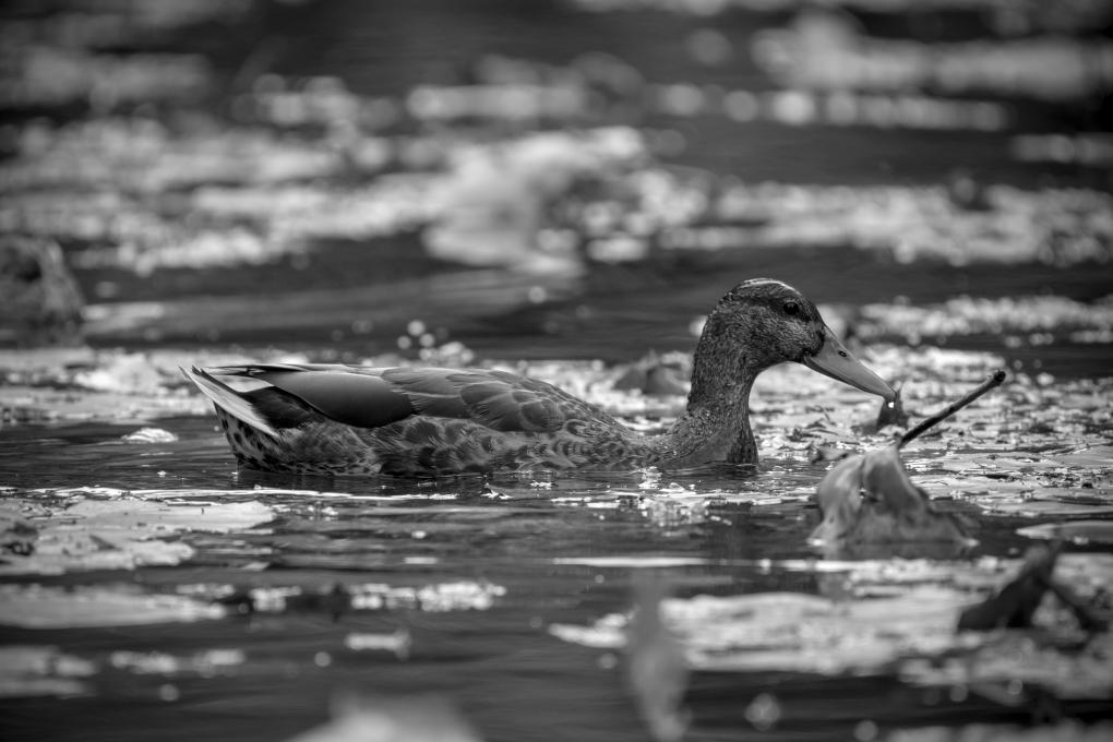 Duck_greyscale_unsigned_JPEG
