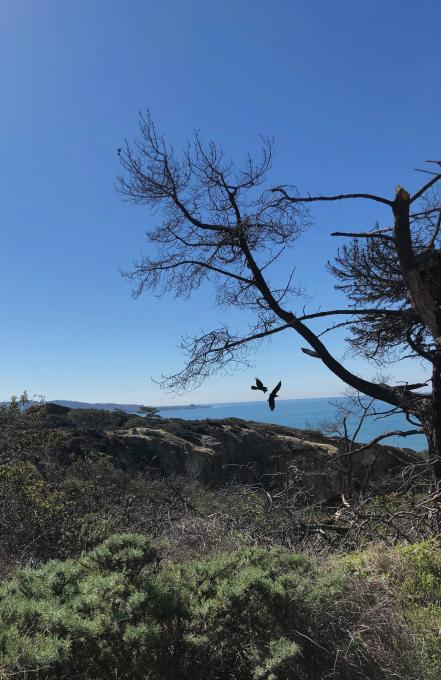 Common_Ravens_Torrey_Pines