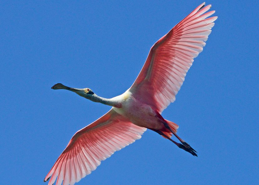 roseate spoonbill - flight feathers