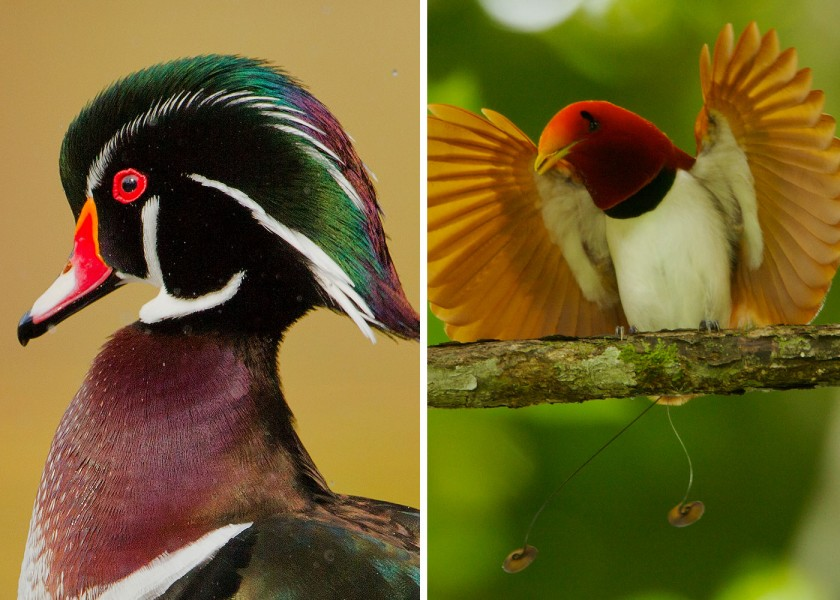 wood duck and king bird of paradise - display feathers